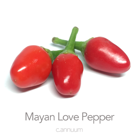 Mayan Love Pepper Seeds (c.annuum)