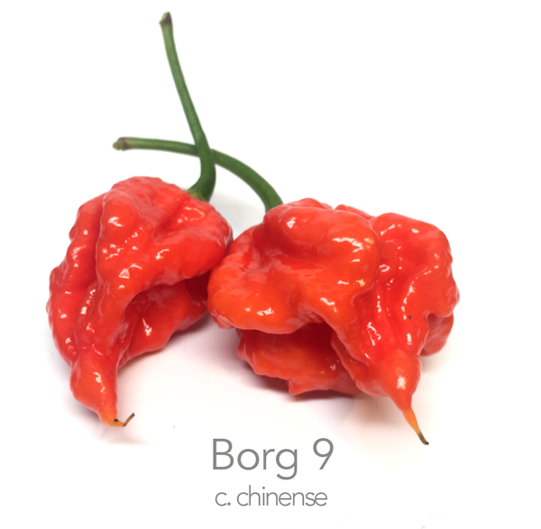 Borg 9 Red Chilli Seeds (c.chinense)