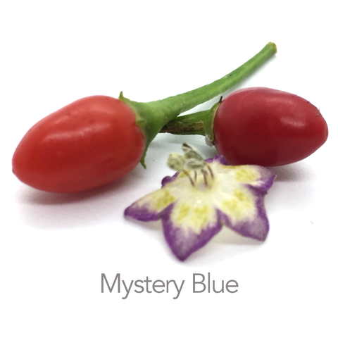 Blue Mystery Chilli Seeds (c.?)