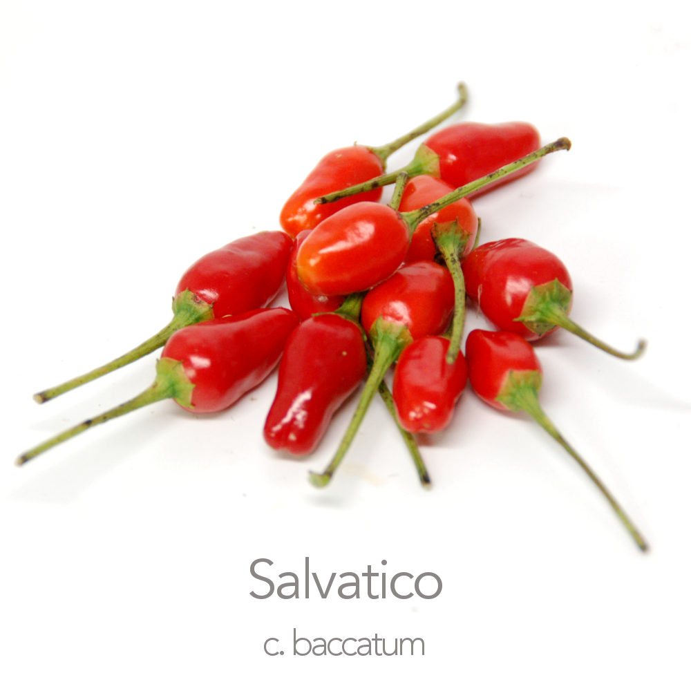 Salvatico Chilli Seeds (c.baccatum)
