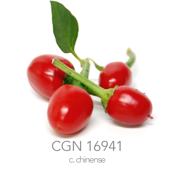 CGN 16941 Chilli Seeds (c.sp)