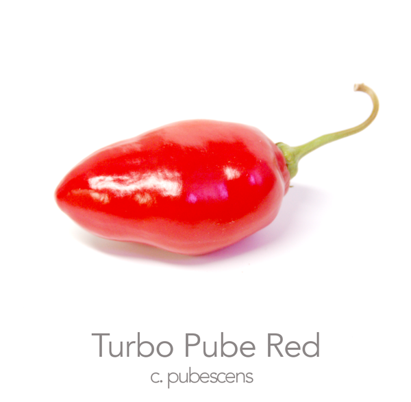 Turbo Pube Red Chilli Seeds (c.pubescens)