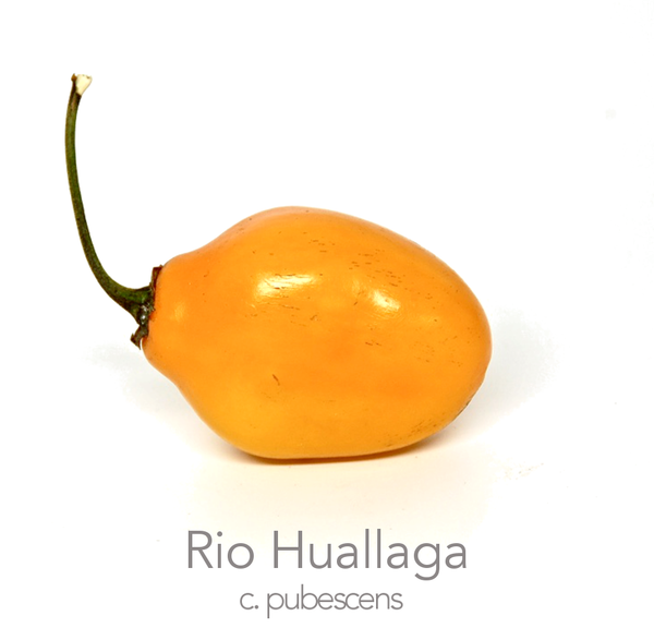 Rio Huallago Rocoto Chilli Seeds (c.pubescens)