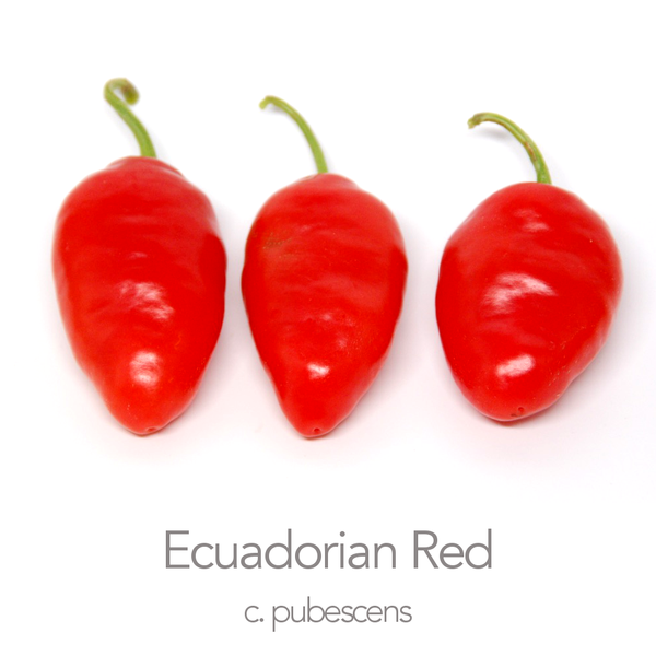 Ecuadorian Red Rocoto Chilli Seeds (c.pubescens)