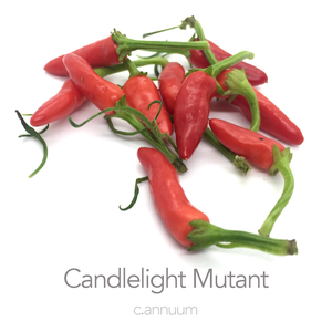 Candlelight Mutant Chilli Seeds (PI 593565) (c.annuum)