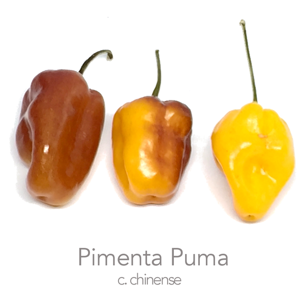 Pimenta Puma Chilli Seeds (c.chinense)