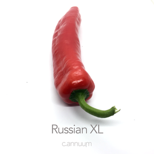 Russian XL Chilli Seeds (c.annuum)