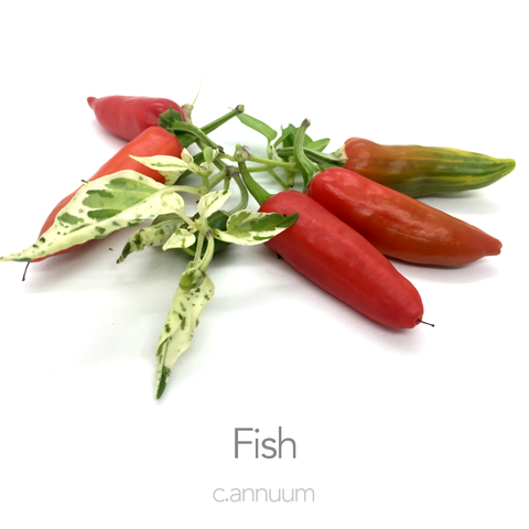 Fish Pepper Chilli Seeds (c.annuum)