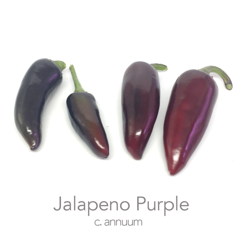 Purple Jalapeño Chilli Seeds (c.annuum)