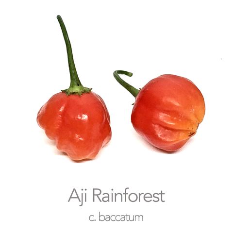 Aji Rainforest Chilli Seeds (c.baccatum)