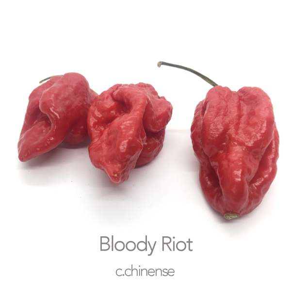 Bloody Riot Chilli Seeds (c.chinense)
