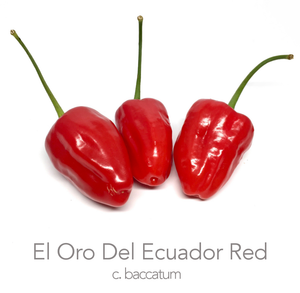 El Oro Del Ecuador Red Chilli Seeds (c.baccatum)