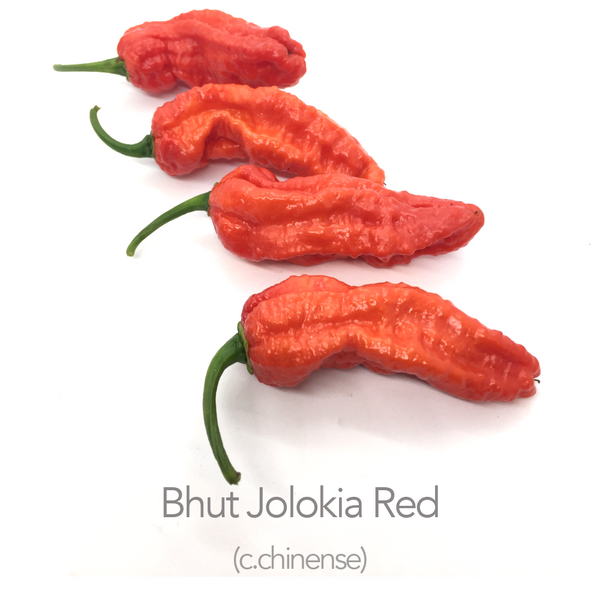 Bhut Jolokia Red Chilli Seeds (c.chinense)