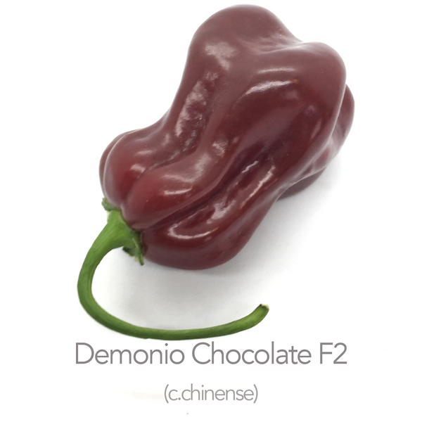 Demonio Chocolate F2 Chilli Seeds (BBG 7 Pot x ?) (c.chinense)