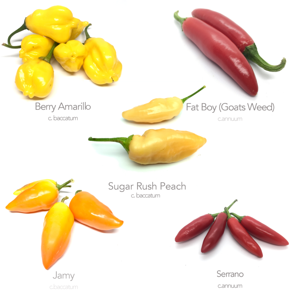 5 x Medium Heat Chilli Seed Varieties (Money Saving Bundle No.2)