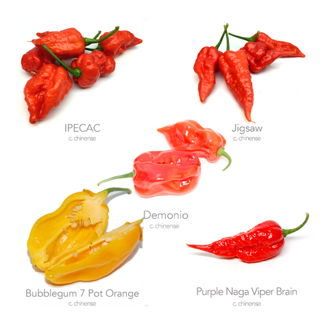 5 x Super Hot Chilli Seed Varieties (Money Saving Bundle No.4)