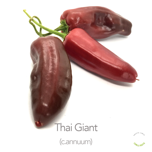 Thai Giant Chilli Seeds (c.annuum)