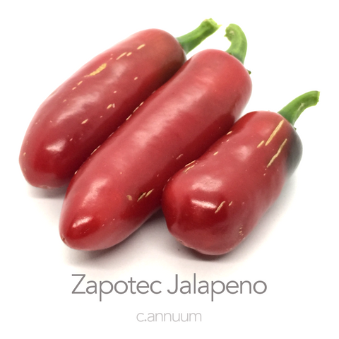 Zapotec Jalapeno Chilli Seeds (c.annuum)