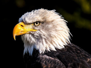 Bald Eagle - Diamond Painting Kit