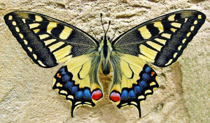 Giant Swallowtail Butterfly - Diamond Painting Kit