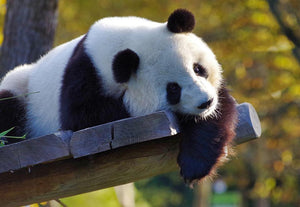 Resting Panda - Diamond Painting Kit