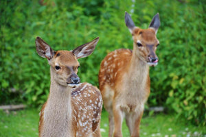 Two Deer - Diamond Painting Kit
