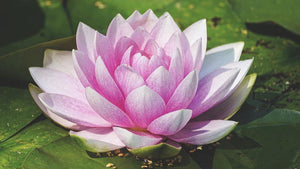 Water Lily - Diamond Painting Kit