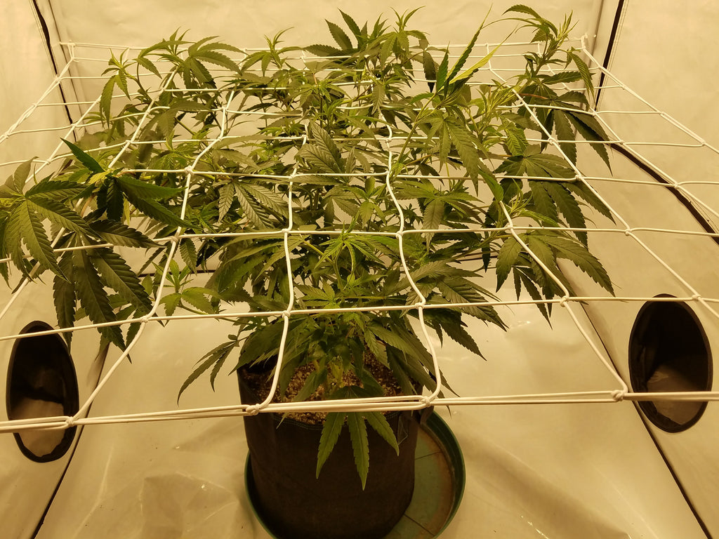 Training your canopy in a grow tent with a scrog net