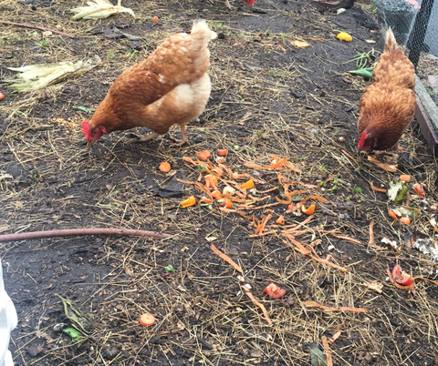chickens for permaculture