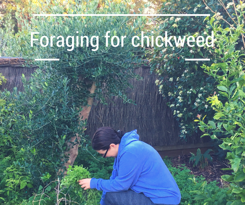 foraging for weeds chickweed