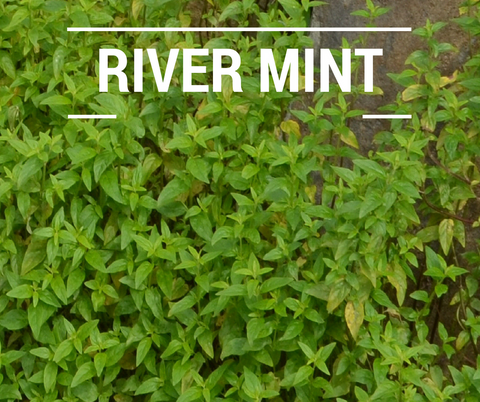 river mint native Australian mint