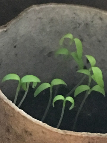 raising seeds at home