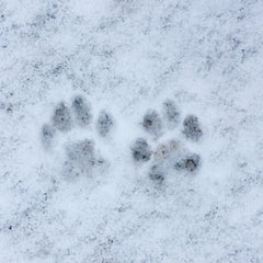 River and Birch Snow Paw Print