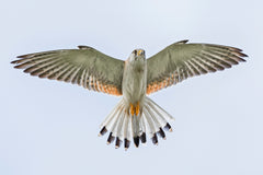 Bird of prey hovering photograph