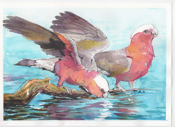 galahs in pen and ink