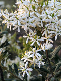 White flowering native plant