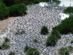 Crested tern breeding colony with chicks seen from the lighthouse