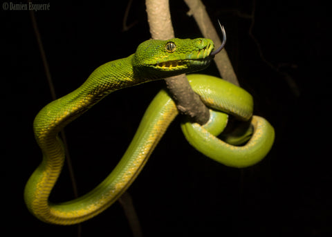 Photograph of green coloured tree snake by Damien Esquerre