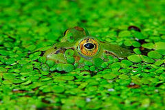 Frogs eye in amongst water plants and camouflaged