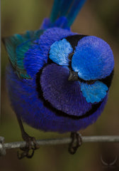Fairy wren photograph
