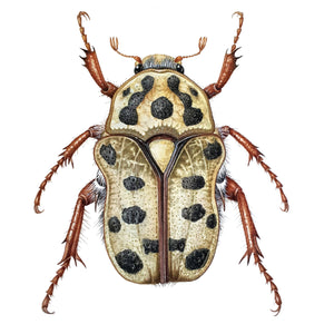 ONLINE TUTORIAL: ILLUSTRATING BEETLES IN WATERCOLOUR, 6 December 2020, Beginners to Advanced