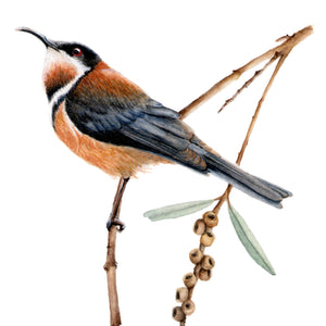 EASTERN SPINEBILL - EXPLORING SMALL BIRDS IN WATERCOLOUR, 20 - 21 June 2020, Beginners - intermediate (only 1 place left)