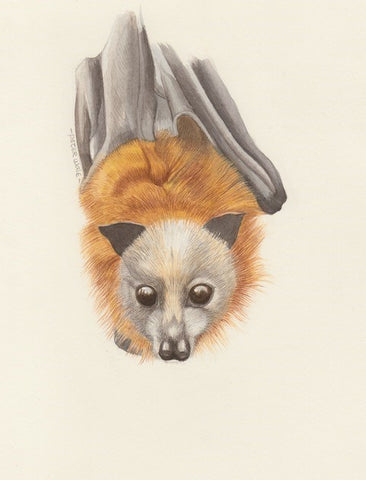Threatened Species: Grey-headed flying foxes - with Peter Wale