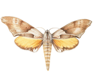 Online tutorial: ILLUSTRATING MOTHS IN WATERCOLOUR:  25 April 2021 - Beginners to Advanced