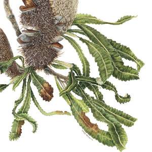 BANKSIA SERRATA IN WATERCOLOUR, (date to be confirmed), Intermediate