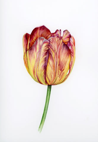 Tulips in Watercolour - with Tanya Hoolihan (Two-day workshop)