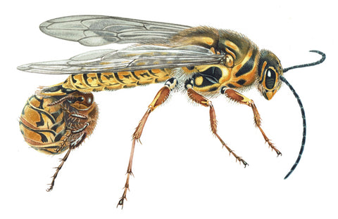 Insect Illustration - with Peter Marsack