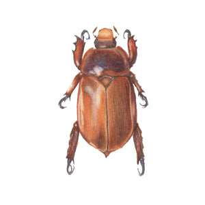 ILLUSTRATING BEETLES IN WATERCOLOUR,  22 February 2020 - Beginners - Intermediate