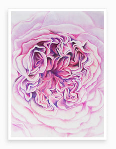 'A Rose is a Rose' Drawing, Botanical Giclee Art Print