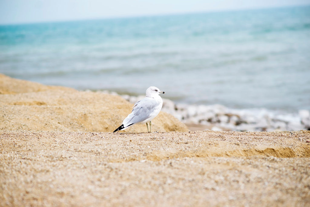 Seagull standing on the beach with waves crashing in the background
